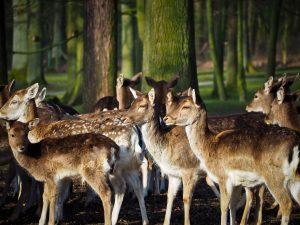 roe-deer-1229151_1920