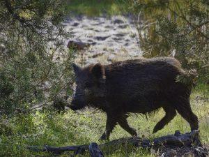 wild-pig-4050106_1280